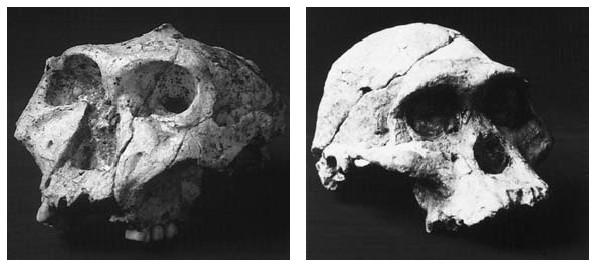 Srovnání lebek gracilních a robustních australopiteků